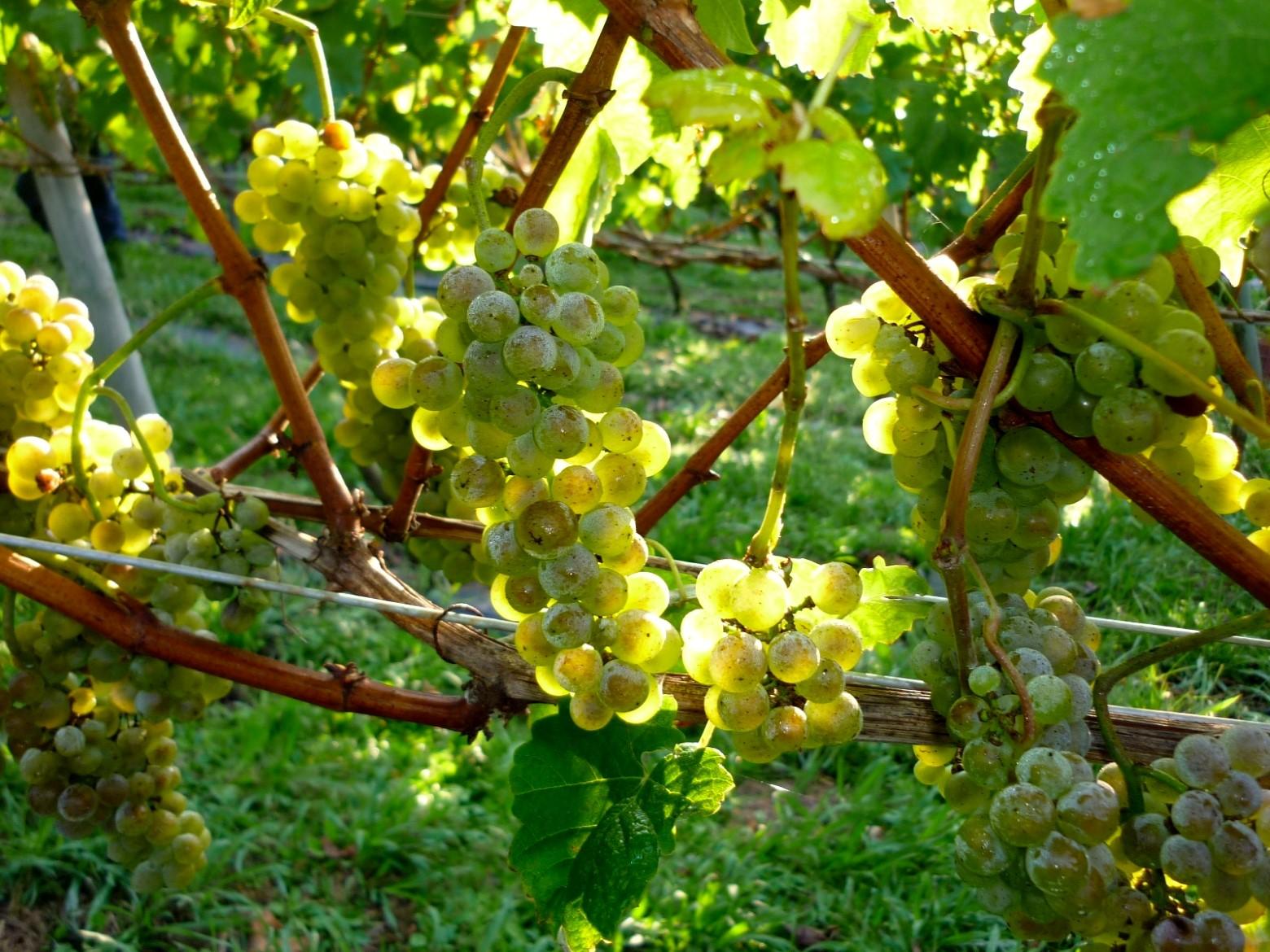 Виноградник1