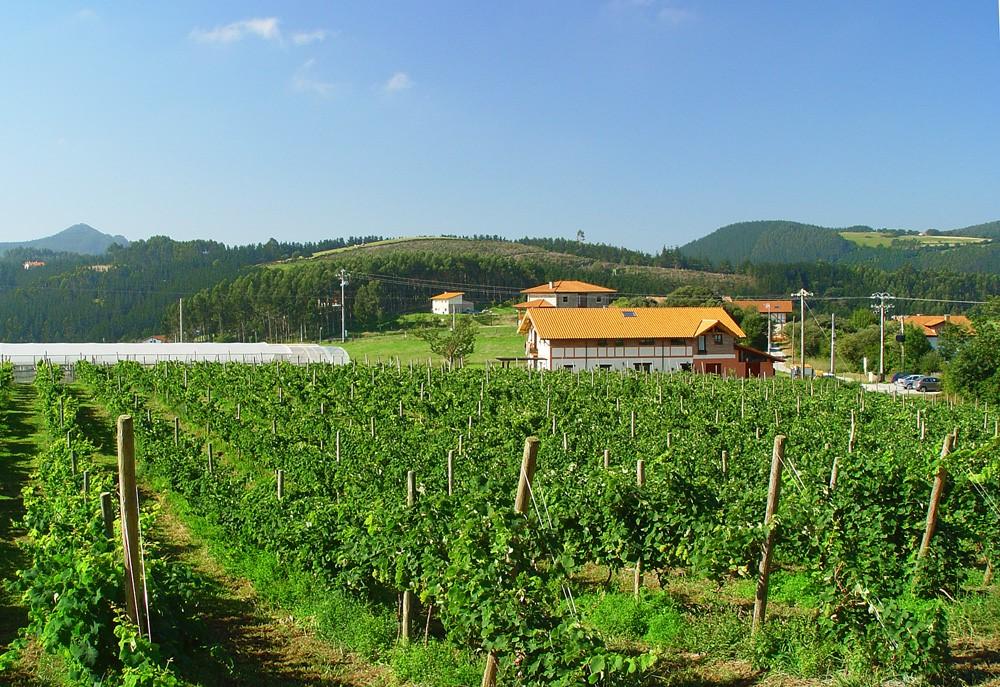 виноградник2